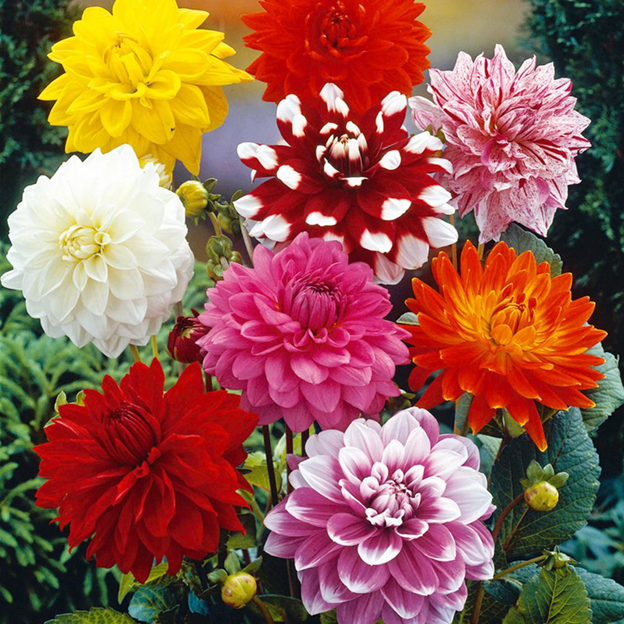 Dahlias Spring Flowers on a Central Florida Garden